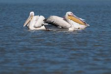 Free Great White Pelicans In Danube Delta Royalty Free Stock Photos - 15427018