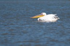 Free Great White Pelican On Water Royalty Free Stock Images - 15427029