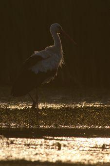 Free White Stork In Sunset Light Stock Images - 15427044