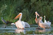 Free Great White Pelicans Flock Royalty Free Stock Images - 15427089