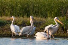Free White Pelicans On Shore Stock Images - 15427154