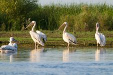 Free White Pelicans On Shore Royalty Free Stock Photo - 15427175