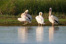 White Pelicans Preening Stock Photo