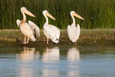 White Pelicans Looking Royalty Free Stock Images