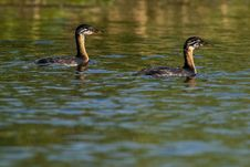 Free Red Necked Grebe, Chicks Royalty Free Stock Photo - 15427235
