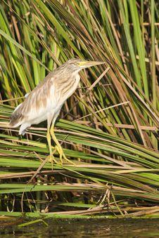 Free Silky Heron On Reed Royalty Free Stock Photo - 15427275