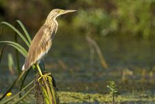 Silky Heron On Reed Royalty Free Stock Images