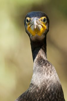 Great Cormorant Portrait Royalty Free Stock Images
