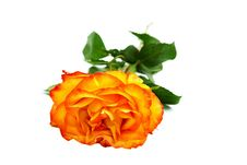 Free Beautiful Yellow-red Rose Stock Image - 15427391