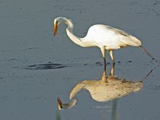 Free Great Egret Standing In Water Stock Image - 15427881