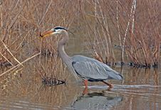 Free Great Blue Heron With Fish Royalty Free Stock Image - 15427886
