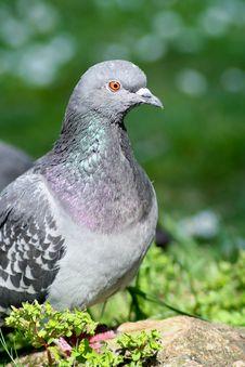 Free Pigeon Stock Photo - 15428110