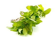Free Mint Royalty Free Stock Photography - 15428277
