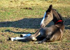 Free Little Foal Stock Images - 15428864