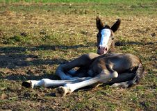 Free Little Foal Stock Images - 15428904