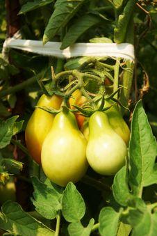 Free Tomato Stock Photos - 15429043