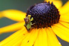 Free Ambush Bug Stock Photography - 15429272