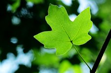 Free Green Maple Leaves Royalty Free Stock Photos - 15429568