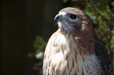 Free Red Tailed Hawk Close Up Stock Photography - 15429802