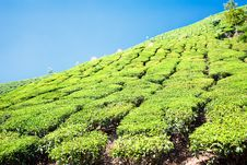 Tea Plantation In The Cardamam Mountains. Munnar Stock Images