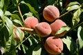 Free Peaches Stock Image - 15434851