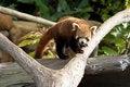 Free Red Panda Stock Photos - 15436053