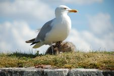 Free A Seagull With Her Babies Royalty Free Stock Photography - 15430947