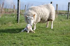 Free A Sheep And A New Born Lamb Stock Images - 15431014