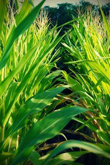 Rows Of Corn Stock Image