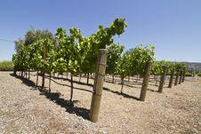 Free Vineyard Royalty Free Stock Image - 15431616