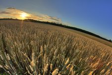 Free Mature Rye Field Royalty Free Stock Image - 15432236
