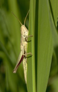 Free Grasshopper Royalty Free Stock Images - 15432939