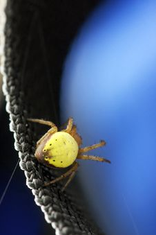 Free Itsy Bitsy Yellow Orb Weaver Spider Stock Photography - 15433122