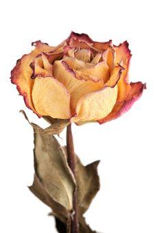 Free Single Dry Rose Stock Photo - 15433350