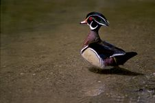 Free Wood Duck, Male Stock Images - 15433794