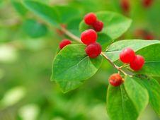 Free Bright Berries Very Toxic Plant Royalty Free Stock Image - 15434216