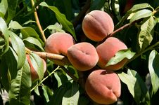 Free Peaches Stock Image - 15434851