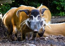 Free Red River Hog Stock Image - 15435351