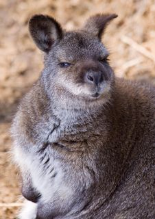 Free Red-necked Wallaby Stock Photos - 15435453