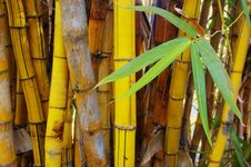 Free Golden Bamboo Stock Photo - 15435840