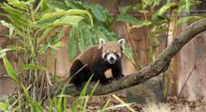 Free Red Panda Stock Photo - 15436020