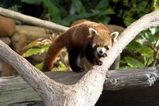 Free Red Panda Stock Photos - 15436053