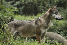 Gazing Eurasian Wolf Stock Image
