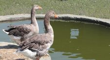 Free Geese Stock Image - 15437951