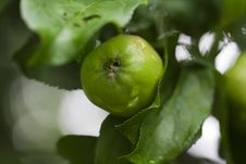 Free Apple On A Tree Stock Photography - 15438882