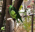 Free Parrots Royalty Free Stock Photography - 15440827