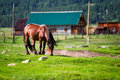 Free Grazing Horse Royalty Free Stock Images - 15441899