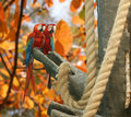 Free Parrot - Red Blue Macaw Royalty Free Stock Images - 15449149