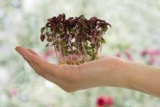 Free Alfalfa Sprout In Female Hand. Royalty Free Stock Photography - 15440197