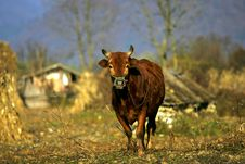 Free Chinese Cattle Royalty Free Stock Images - 15440269